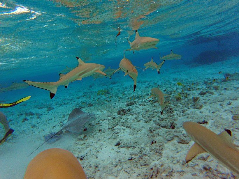 Incontáveis tubarões em um simples mergulho com snorkel em Bora Bora