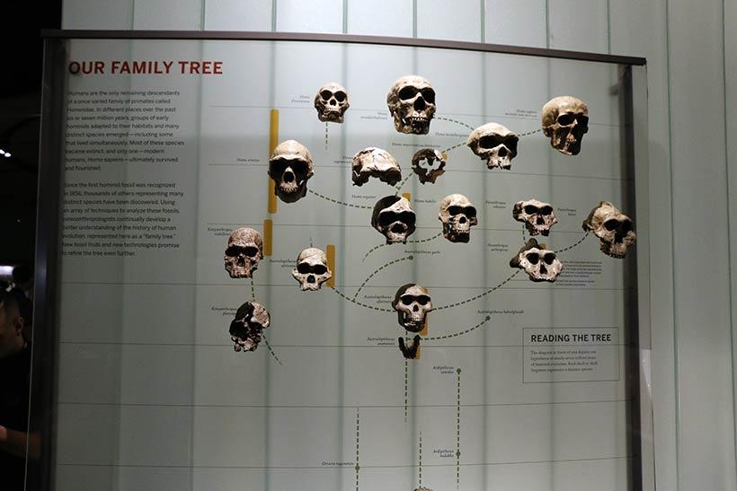 Crânios de várias fases da evolução humana