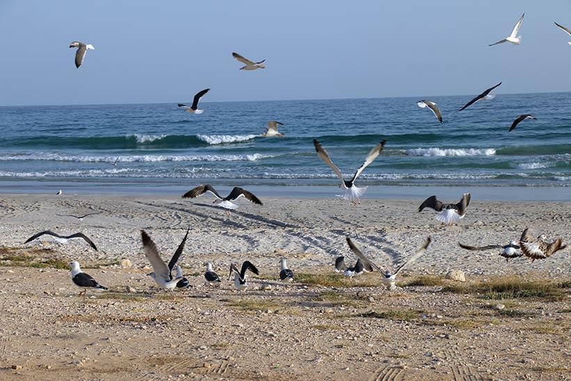 Gaivotas na praia, em Salalah, no Omã